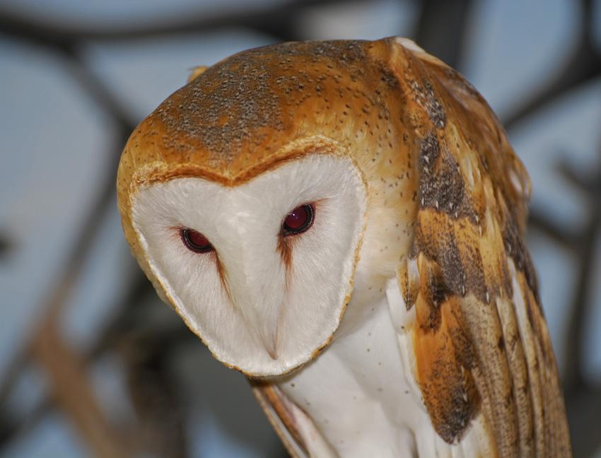 White Owls In Kentucky Creasey Mahan Nature Preserve
