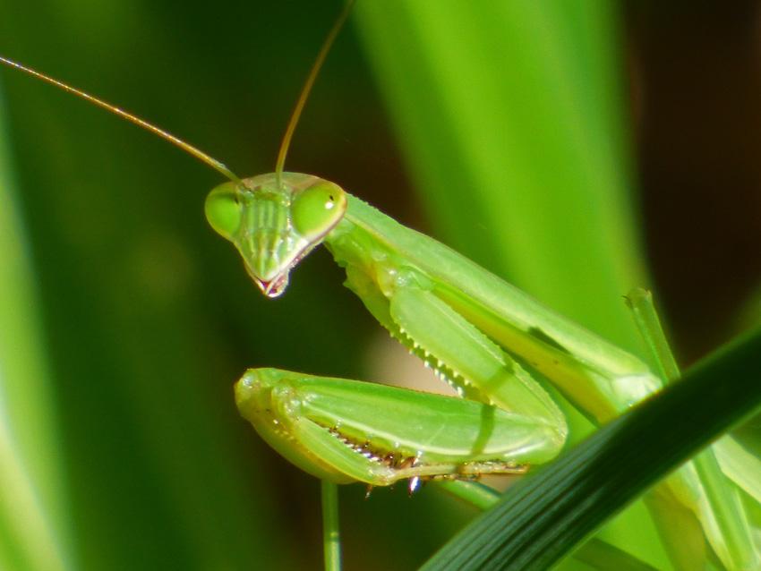 Praying Mantis Closeup