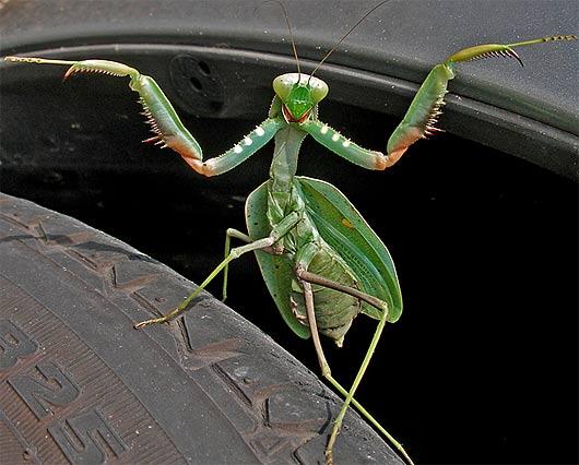 Green Praying Mantis Wings Open Creasey Mahan Nature Preserve