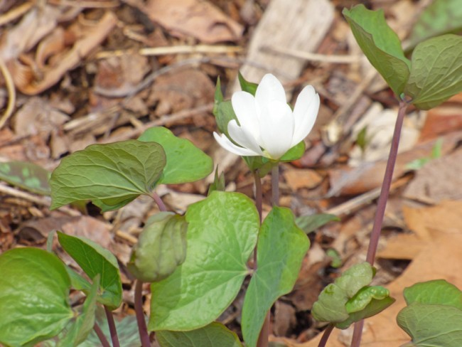 Twinleaf in Bloom