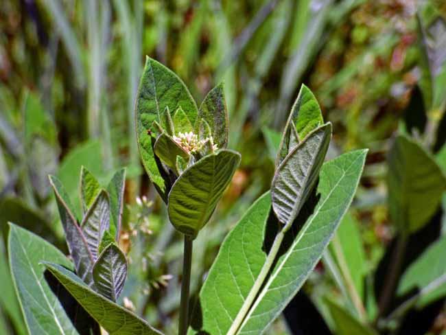 Milkweed Ready to Bloom
