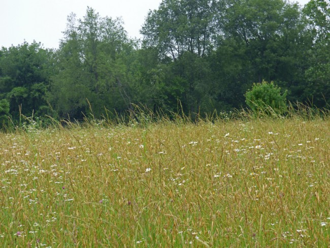 Meadowlark Meadow Wildflowers and Grasses