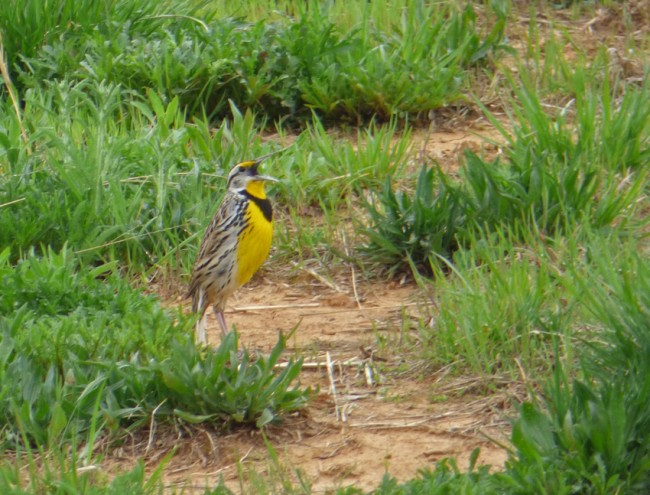 Meadowlark in Green Grass Singing