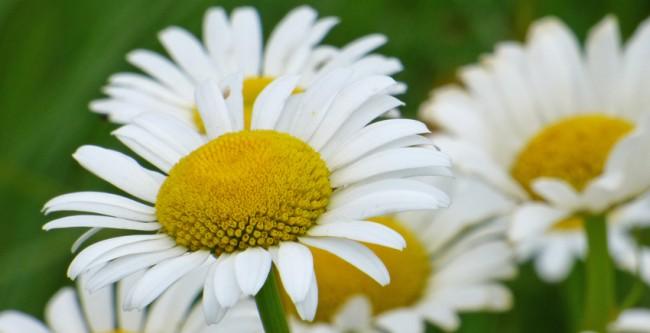 Oxeye Daisy Ultra Closeup
