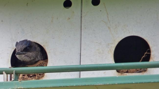 Purple Martin Female in Nest Box