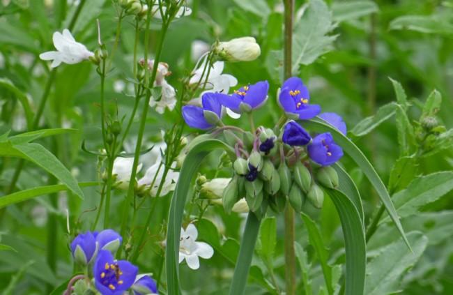 Spiderwort and Penstemon