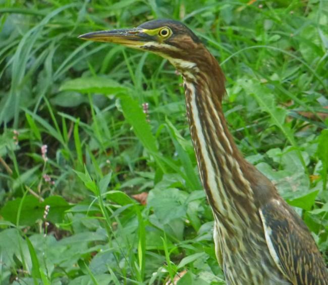 Green Heron Long Neck Closeup