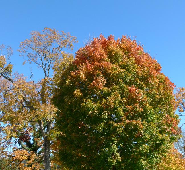 Orange-tipped Maple Tree