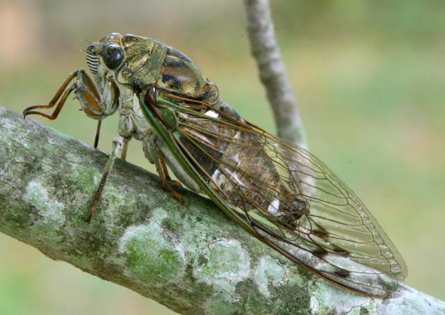 Cicada Annual