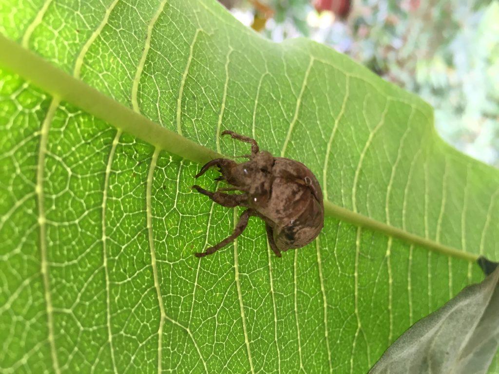 Cicada Shell on milkweed 2