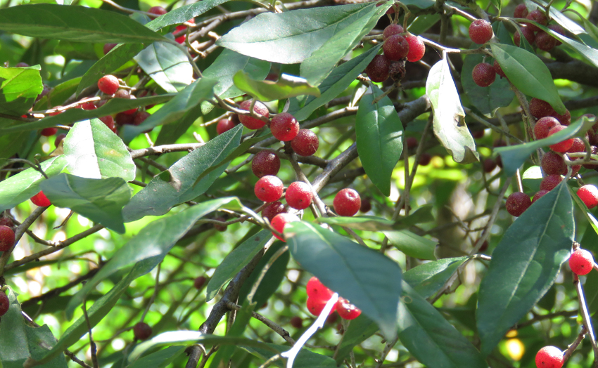 autumn-olive-berries