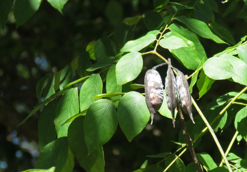 ky-coffee-tree-pod